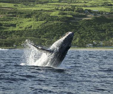 Une baleine au large de l'île de La Réunion